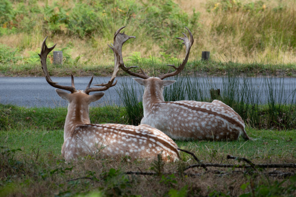 2 Fallow Deer have a rest in Richmond Park